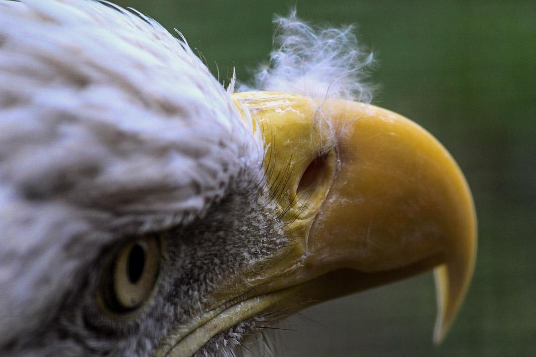 Adler Faceshot